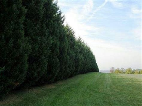 trees as sound barrier gardening outdoors pinterest trees and shrubs trees and shrubs