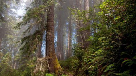 wallpaper hd 1920x1080 forest download 1920x1080 hd wallpaper forest fir tree fog fern