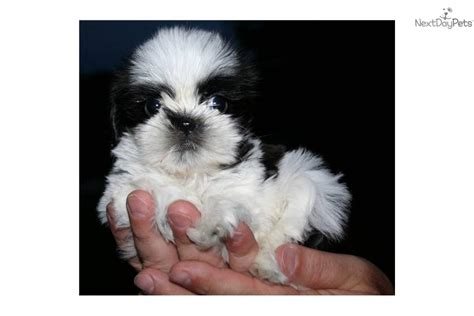 shih tzu puppies for sale in virginia shih tzu puppy for sale near northern panhandle west virginia b490e62c de81