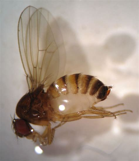 Aa Eggs Wings pests bc tree fruit production guide