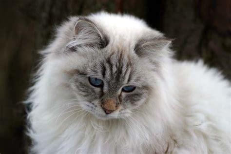 alimentazione gatto siberiano gatto siberiano scheda felino velvetpets