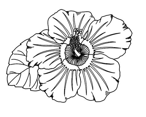 free coloring pages of hibiscus flowers free printable hibiscus coloring pages for kids