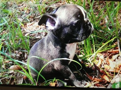 frenchton puppies florida ready for mothers day ckc frenchton puppies for sale in sebring florida