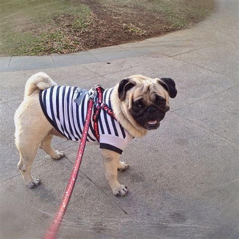 should i get a pug pugpugpug what size of shirt should i get for my pug