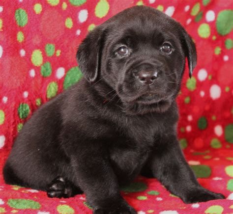 lab puppies for sale in va chocolate lab puppies for sale in va breeds picture