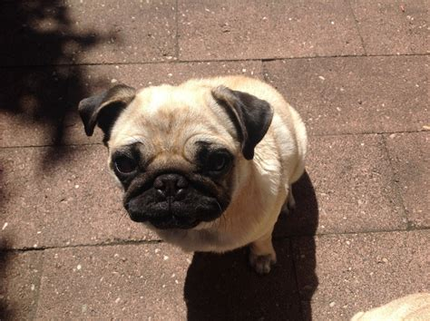 pug skin problems scabs adopted pug with skin condition antibiotics aren t working advice