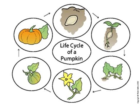 coloring pages of life cycle of pumpkin pumpkin craft life cycle of a pumpkin craftivity by