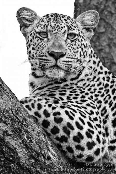 White Leopard Picture, Black And White Leopard, 533x800, #2699