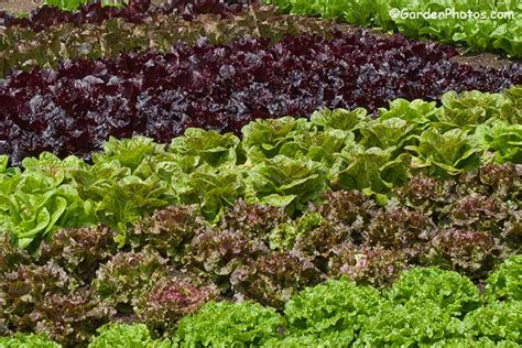 Mr Fothergills Best Of All award winning lettuce varieties 171 mr fothergills co uk