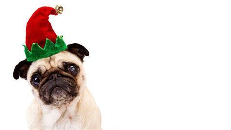 christmas pugs wallpaper google search pug christmas pugs pug wallpaper