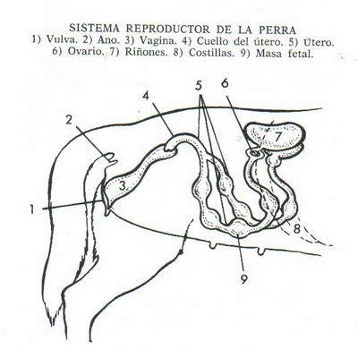 vestibulo genital feminino cr 237 a y reproducci 243 n goldenretrievermundoanimal