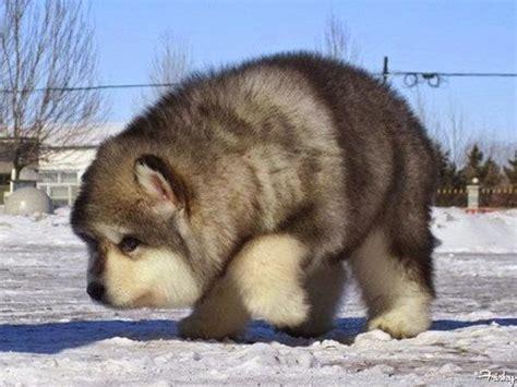 wolf malamute puppies white wolf 15 alaskan malamute puppies that will make you smile