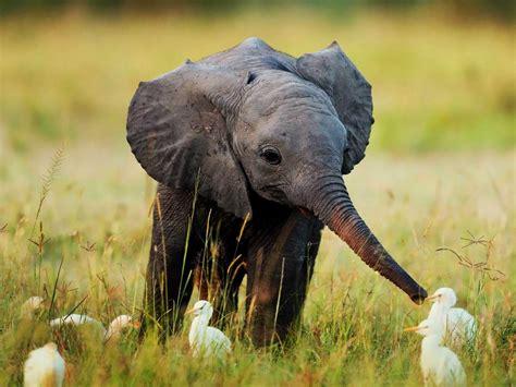 Baby Elephant L baby elephant wallpaper 2560 215 1920 picpetz