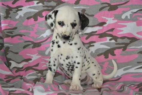 dalmatian puppies for sale craigslist adorable dalmatian pups puppyindex