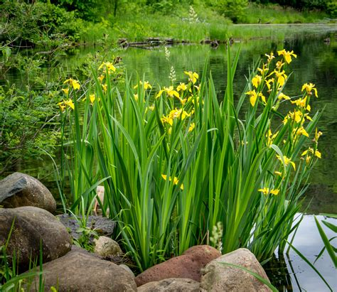 schwertlilie pflege iris pflegen 187 so gedeiht die schwertlilie am besten