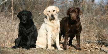 color labs labrador color inheritance with new puppy color charts