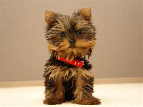 what are yorkies terriers images the beautiful yorkie hd wallpaper and background photos
