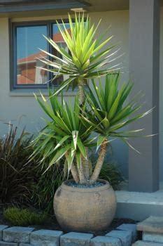 yucca  pot  images plants  plants garden