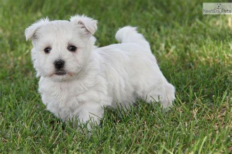 puppies for sale st joseph mo best 25 westie puppies for sale ideas on puppies for sale chiwawa