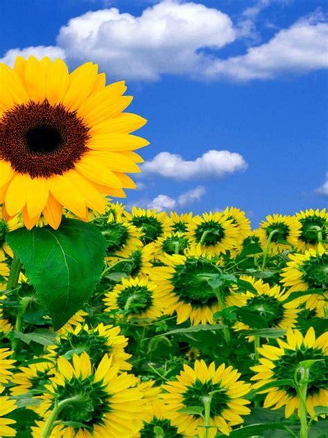 imagenes girasoles hermosos fondo pantalla flores girasoles