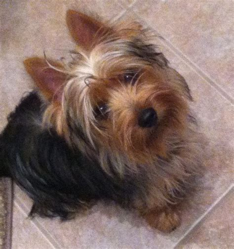 silkie terrier hair cuts silky terrier silkyterrierpnw com crazy for my puppy