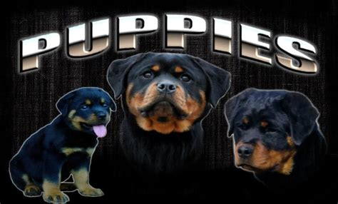 rottweiler for sale in nj how to house a