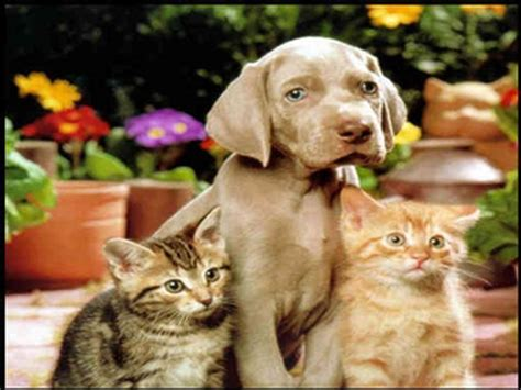 puppy and cat dogs vs cats images dogs and cats hd wallpaper and