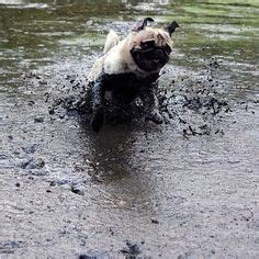 heuberg pugs 1000 images about pugs in on pug small costumes and surfing