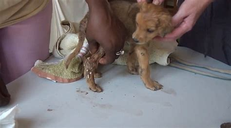 puppy has worms in puppy has worms squeezed from his skin after being rescued in gambia daily mail