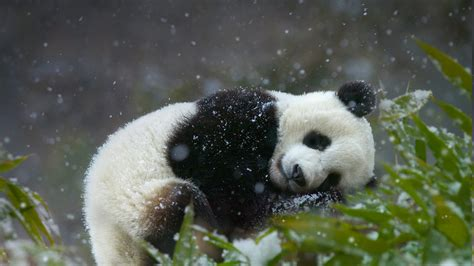 Boneka Panda By Cahaya gambar wallpaper panda lucu kung wallpaper