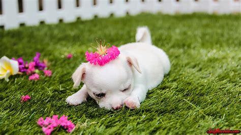 hd cute puppy wallpaper