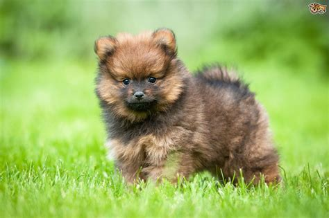 pomeranian large breed pomeranian breed information buying advice photos and facts pets4homes