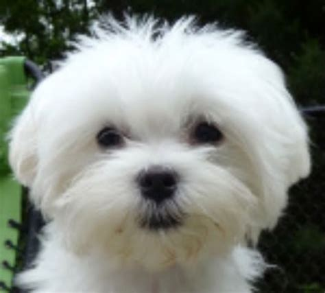 puppy cut maltese 1000 images about maltese puppies by my sweet on new