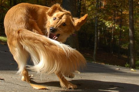 chaising tails why do dogs chase their tail and other strange things