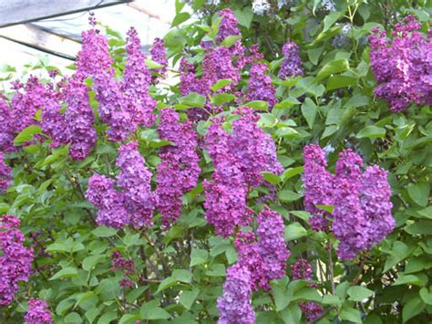 flowering shrubs redwood barn nursery deciduous flowering shrubs