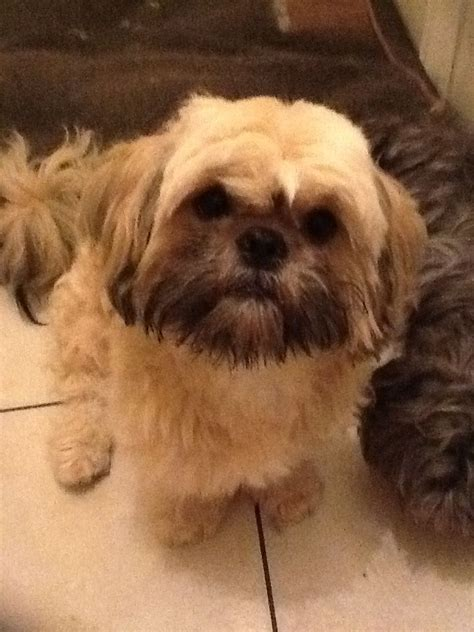 gold shih tzu puppies stunning gold shih tzu for stud reading berkshire pets4homes