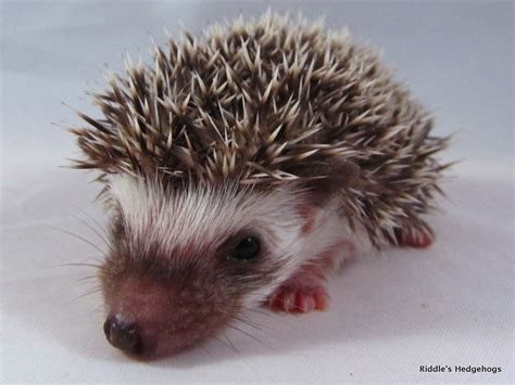 hedgehog for sale hedgehog for sale keywordsfind