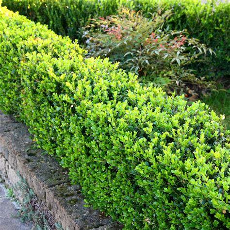 piante da siepe in vaso sempreverdi buxus faulkner vendita piante