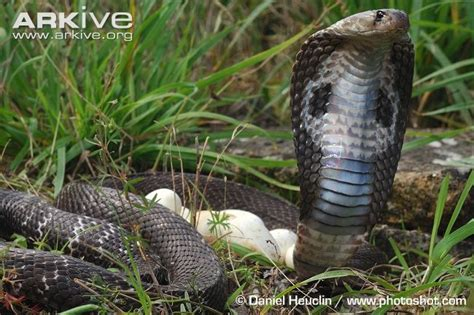 Ular Naga Api Snake quot did you that cobra eggs incubate for 60 to 80 days
