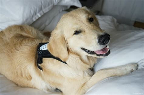 golden retriever heavy panting 5 reasons why dogs pant golden woofs sugar the golden