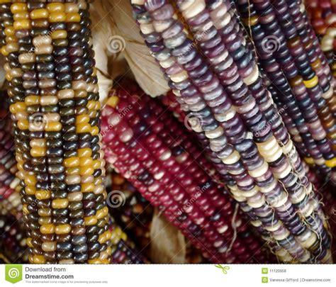 multi colored corn stock photo image of fall peel
