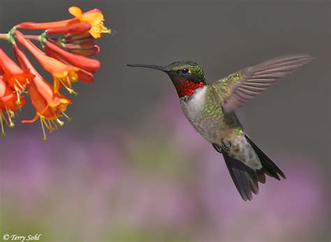ruby throated hummingbird photos photographs pictures