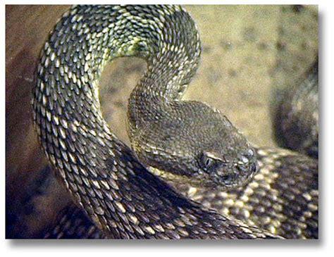 Rattlesnakes - DesertUSA Western Diamondback Rattlesnake Head