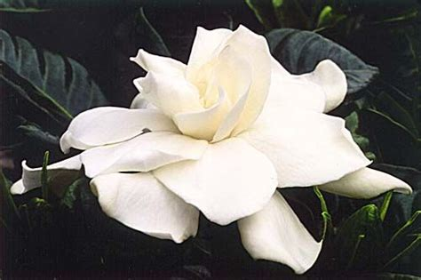 gardenia flower delivery upturned gardenia as a tattoos that i loyalty i am and a