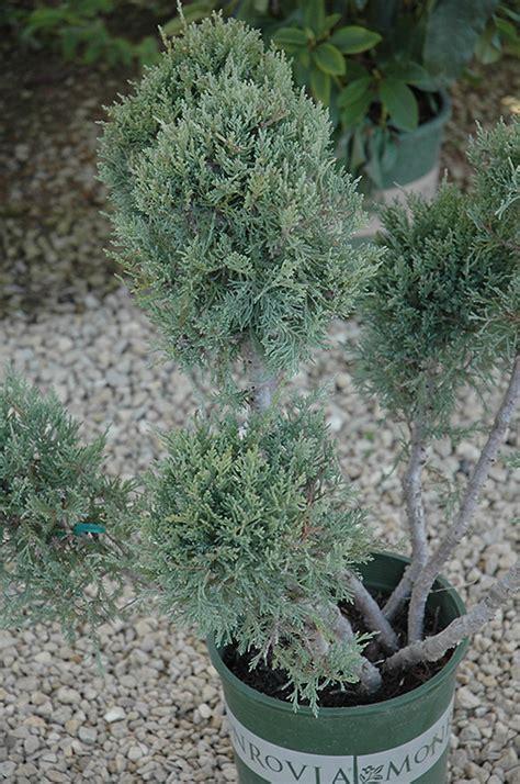 hetz blue juniper pom pom juniperus chinensis hetz