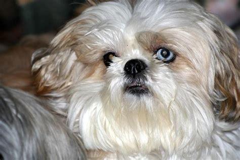 shih tzu massachusetts shih tzu chien chrysanth 232 me l avis du v 233 t 233 rinaire choisir chien