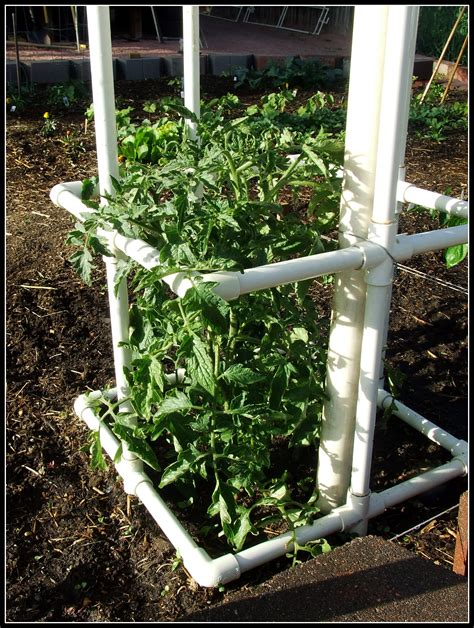 how to build your own pvc tomato cage ignorance is bliss