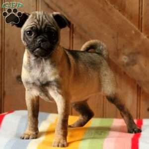 pug breeders in nj pug mix puppies for sale in de md ny nj philly dc and baltimore breeds picture