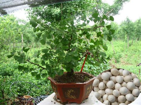 high sprouting rate economic ginkgo tree seeds for