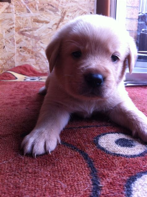 golden retriever puppies for sale glasgow golden labrador golden retriever puppies for sale glasgow lanarkshire pets4homes